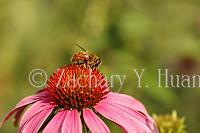 Coneflower with a fly